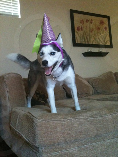 Siberian husky with party hat photo