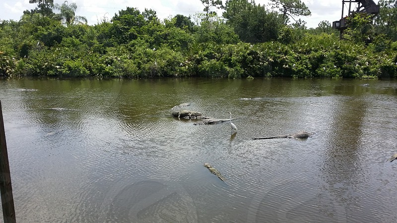 Alligator mating photo