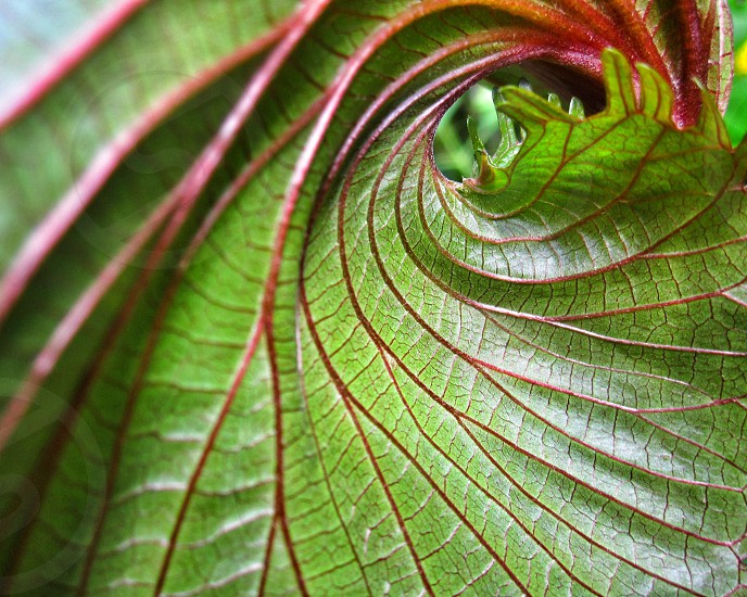 red-veined green leaf photo