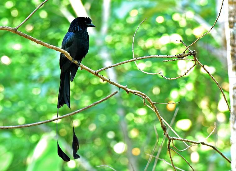 Bird NatureGreater racket-tailed drongo photo