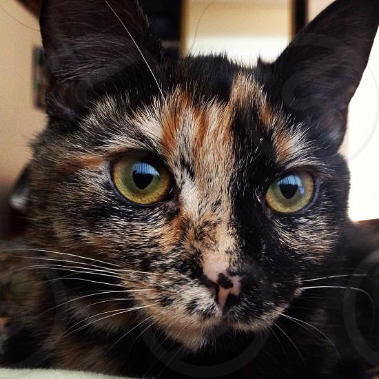 tortoiseshell cat  photo