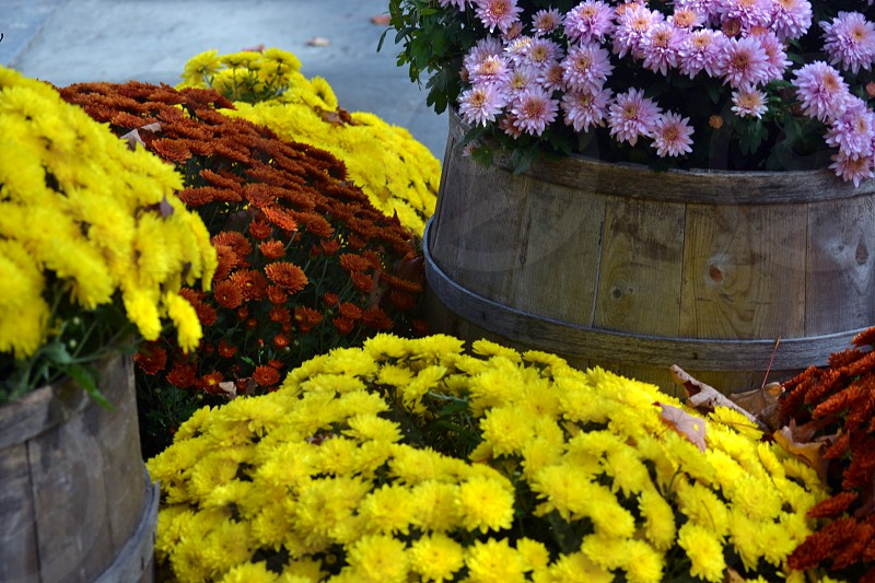 Autumn Fall Mums in Barrels  photo