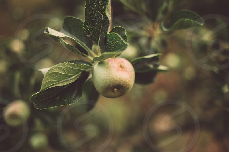 Little green apple growing on an apple tree branch in Gredos photo