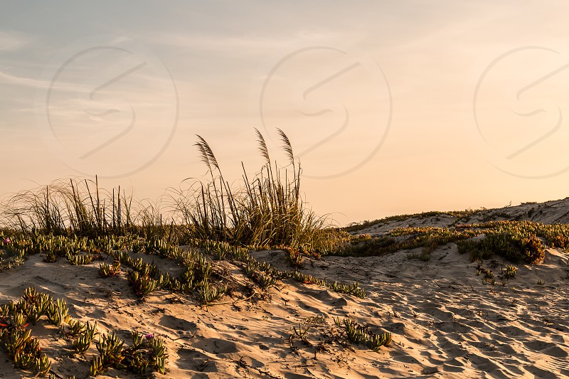 Sand dunes at Coronado Beach in San Diego California at dusk with beach grass and flowering ice plants. photo