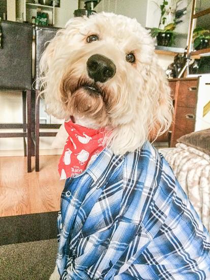 Dressed up doodle dog plaid shirt bandana  photo