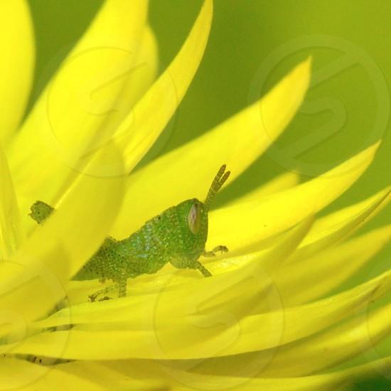Grasshoppers Yellow  photo