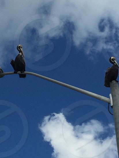 Pelicans on top of a light pole off the Texas City Dike photo