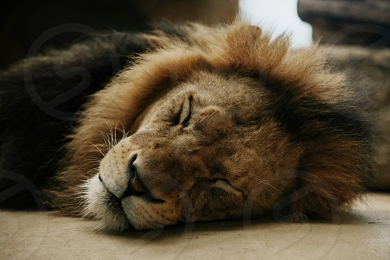 A lion falls a sleep peacefully in a warm summer afternoon photo