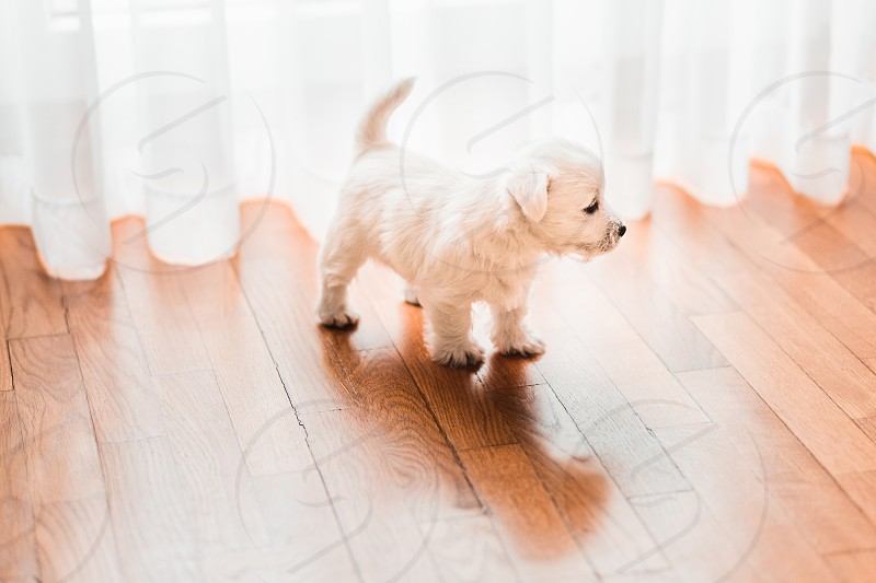 Cute west terrier puppy on the floor by the window photo