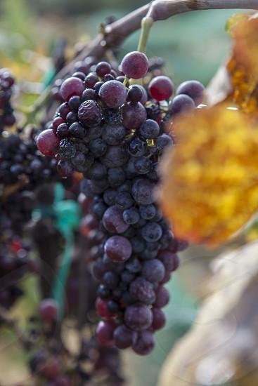 Wine wine making late harvest vineyard grape leaves the wine making process vine wine maker fall harvest photo