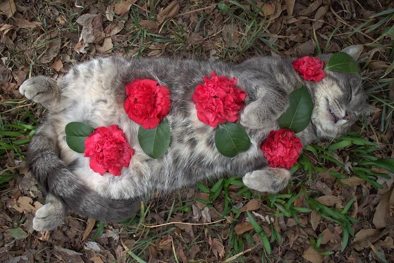 The cat of the camellias  photo