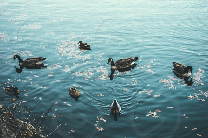 flock of Canadian goose in lake photo