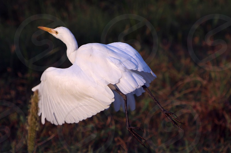 A flying white crane photo