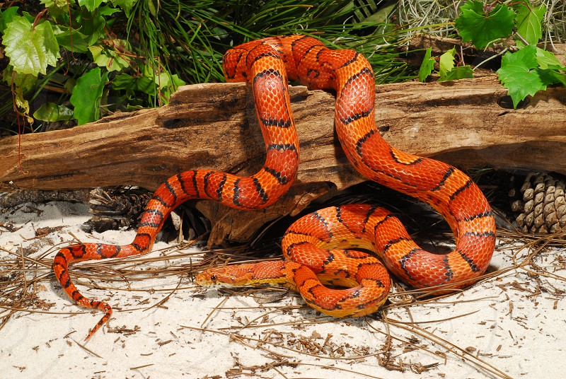 The corn snake (Elaphe guttata /  Pantherophis guttatus) from the southeastern U.S. is one of the two most popular pet snakes in the world.  This is the natural form from South Carolina also known as an 'Okeetee corn snake'.  It is widely bred in captivity for the pet trade. photo
