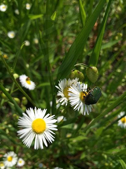 コアオハナムグリ(Flower chafer) photo