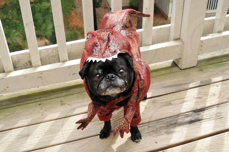 Pug dressed in a dinosaur costume photo