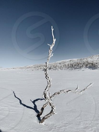Winter tree minimal white snow Sweden  photo