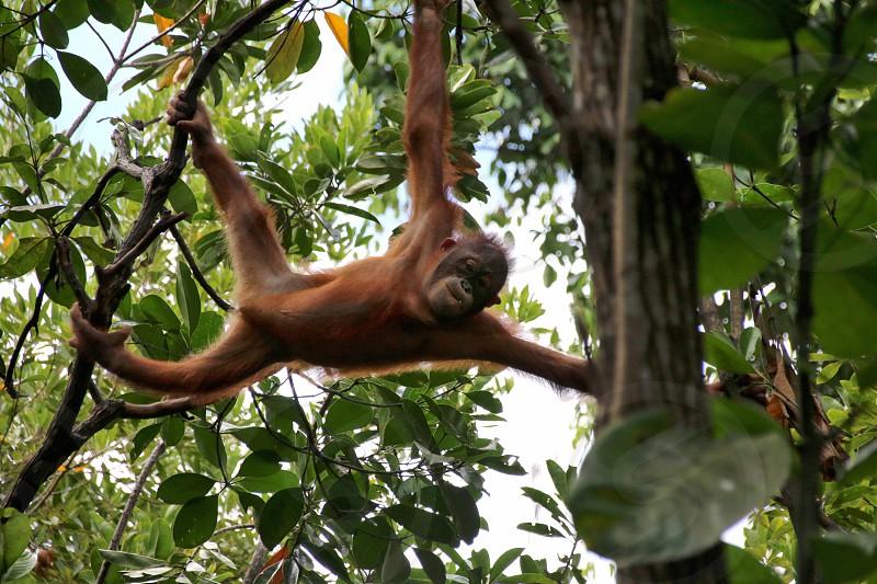 Adult Orangutan in the jungle of Borneo at Kota Kinabalu photo