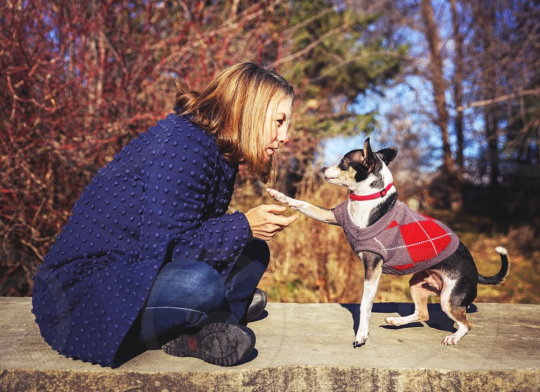 dog woman rat terrier chihuahua canine paw shaking trick argyle sweater coat happy eye contact owner winter fall park    photo