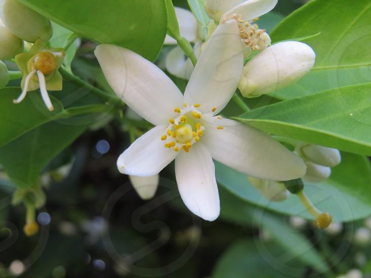 White pedal flower. photo