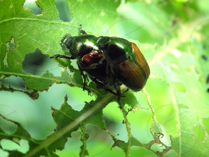 2 Japanese beetles on chewed up leaves photo
