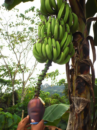 Banana Banana Tree Banana Flower Farm to Table photo