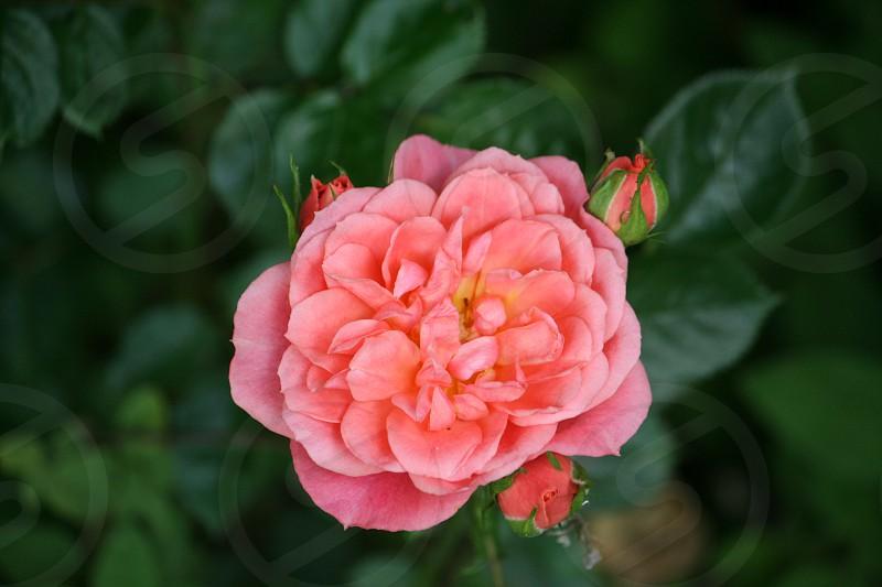 Pink rose.. photo