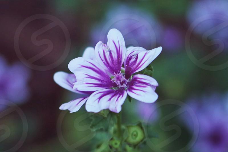 purple-centered white flower photo