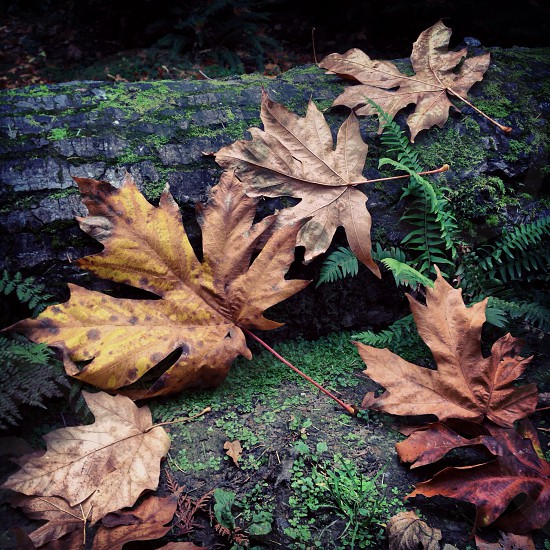 dried maple leaf  photo
