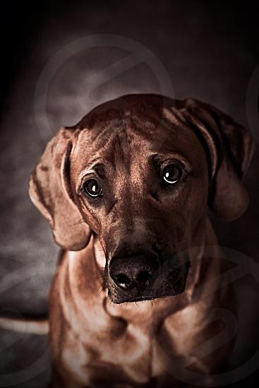 Rhodesian Ridgeback puppy portrait photo