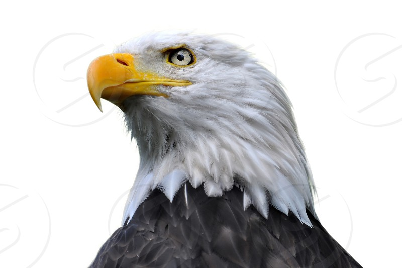 animal bald beak bird black cut eagle eyes feather free freedom head isolated white yellow photo