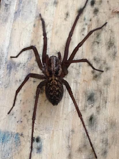 Huntsman spider  photo
