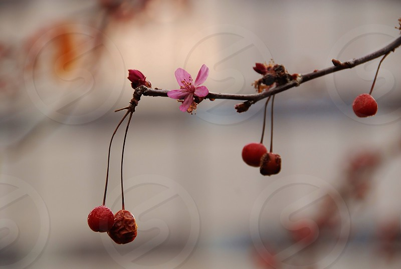 red cherries bokeh  photo