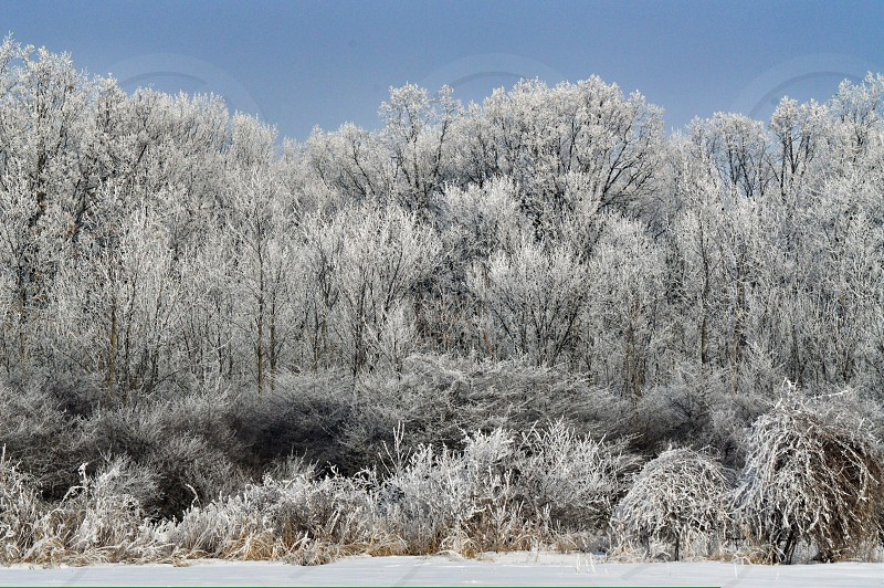 Snow winter weather white ice crystals December nature wildlife trees pine conifer blue sky photo