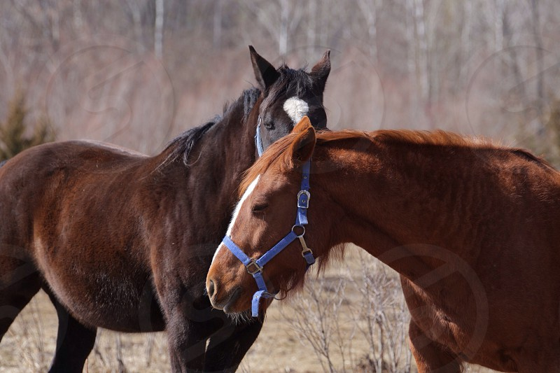 brown and black 2 horses  photo