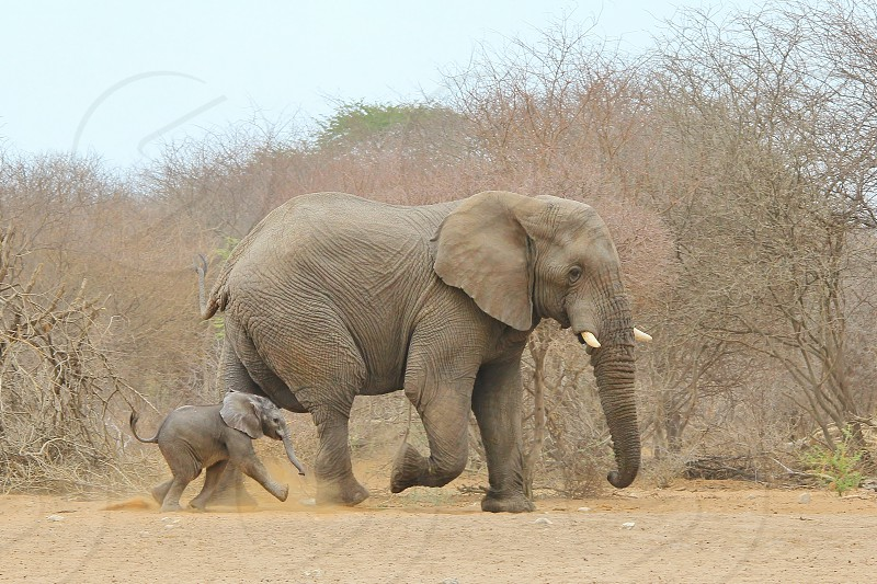 A rare shot of an African (also known as the Savannah) Elephant calf walking next to an adult bull.  They were heading for a watering hole and thus the youngster got a bit overexcited and left the safety of his mother's side.  The bull tolerated the calf luckily.   Photographed in the wilds of Namibia southwestern Africa.  photo
