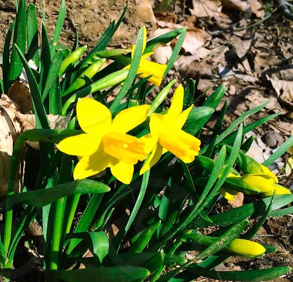 Spring daffodils photo