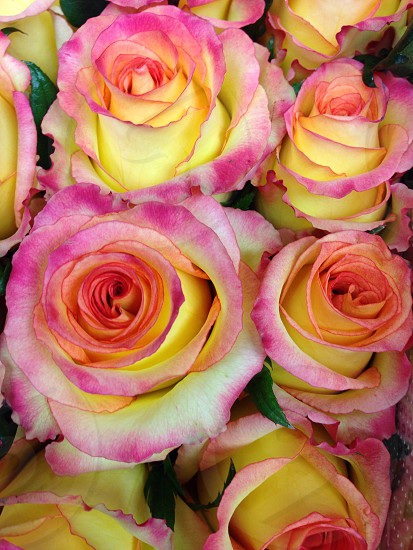 Roses pink yellow bloom photo