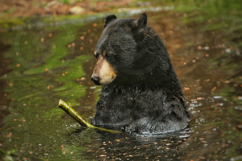 bear black bear bear in pond bear playing with stick photo