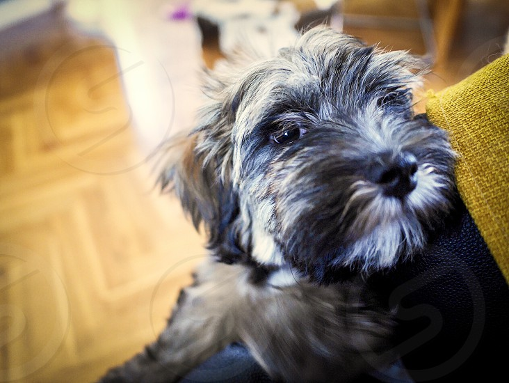 Bichon havanais dog pet portrait  eye hairy puppy cute indoors photo