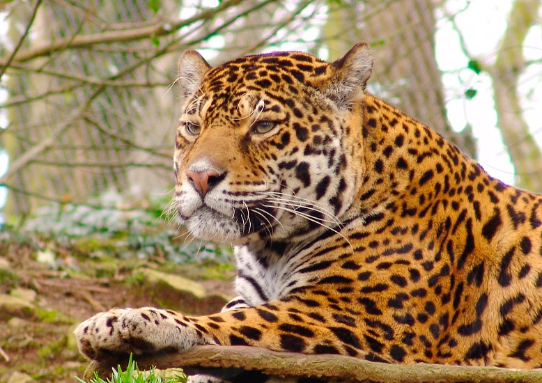 Leopard spots wild cat photo