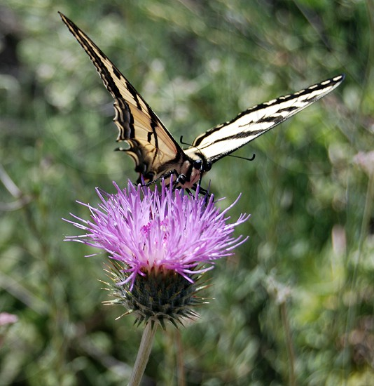 tiger swallowtail butterfly poached on pink thistle flower on bloom during daytime photo