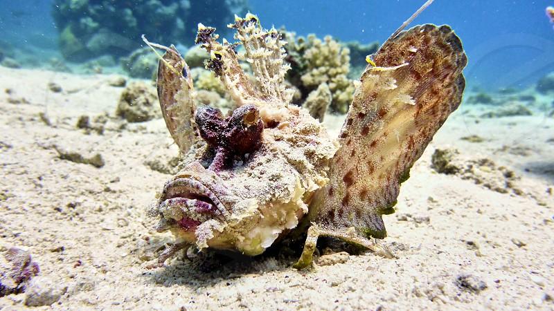 Scorpion fish in Red sea Eilat Israel.                     photo