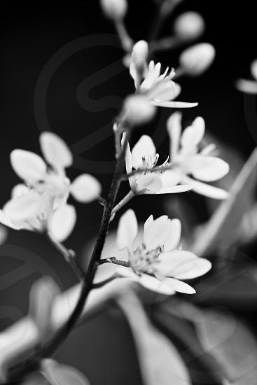 Black and white flower stem unfocused light soft photo