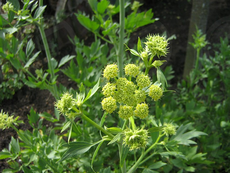 Lovage (Levisticum officinale) - Inflorescence photo