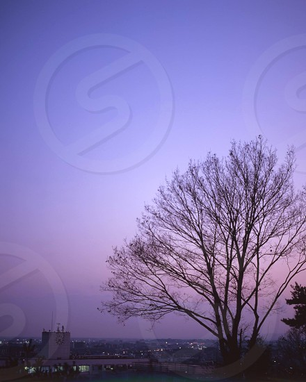 leafless tree against purple sky photo