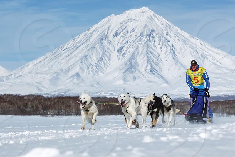 KAMCHATKA PENINSULA RUSSIA - FEB 25 2017: Running sled dog team musher Ryabuhin Denis on background Koryak Volcano. Kamchatka Sled Dog Race Beringia Russian Cup of Sled Dog Race (snow disciplines) photo