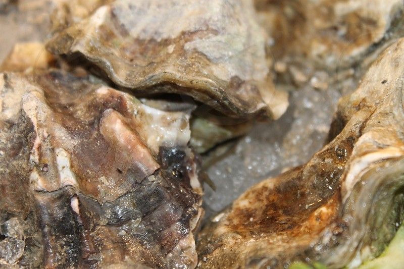 Oysters Shell Fresh Market Close Texture Nature Salt water life photo
