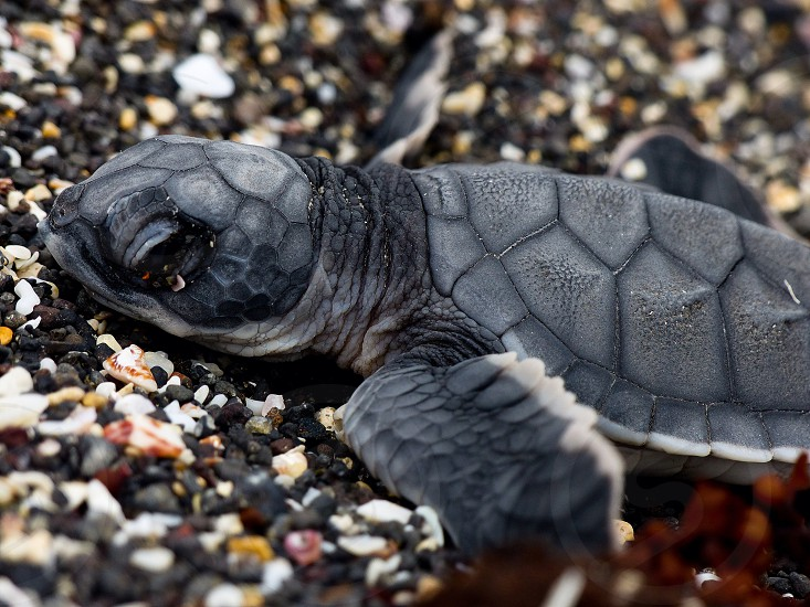 Turtle beach hatchling life nature reptile photo