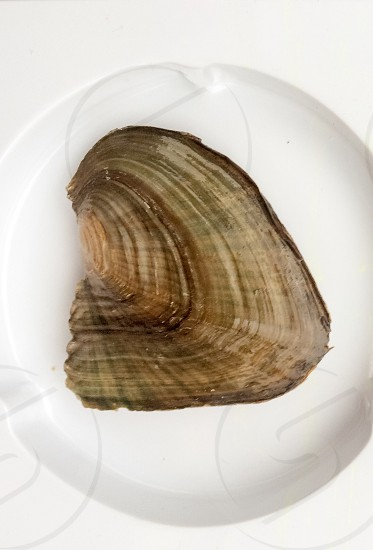 Pearl Oyster  photo